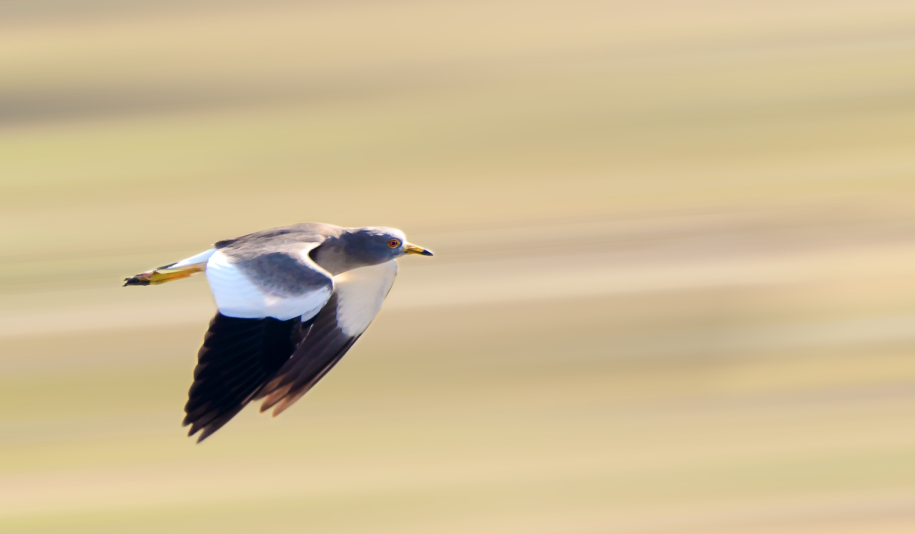 Grey Headed Lapwing in Flight