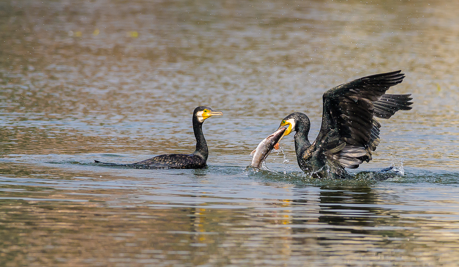 Cormorants fishing