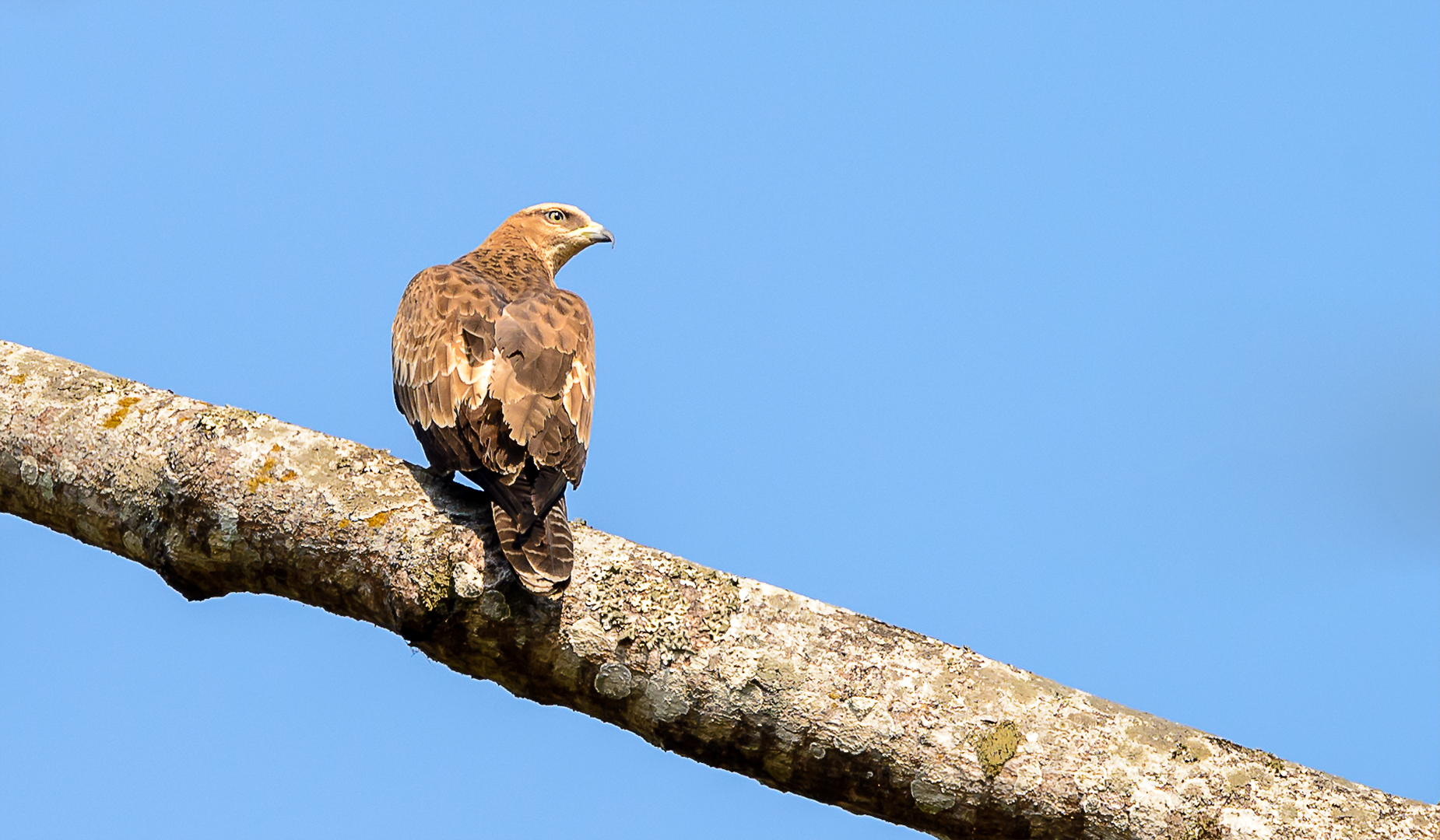 Crested Honey Buzzard
