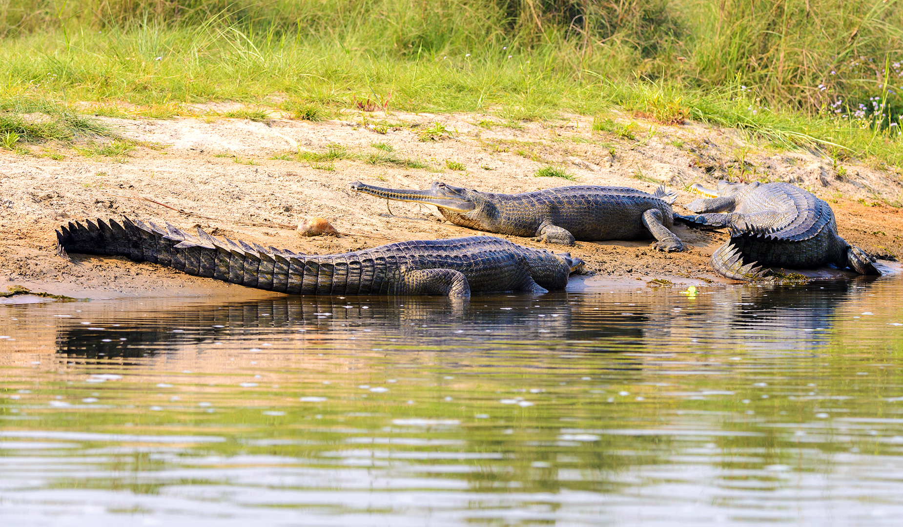 Gharials and Crocodiles