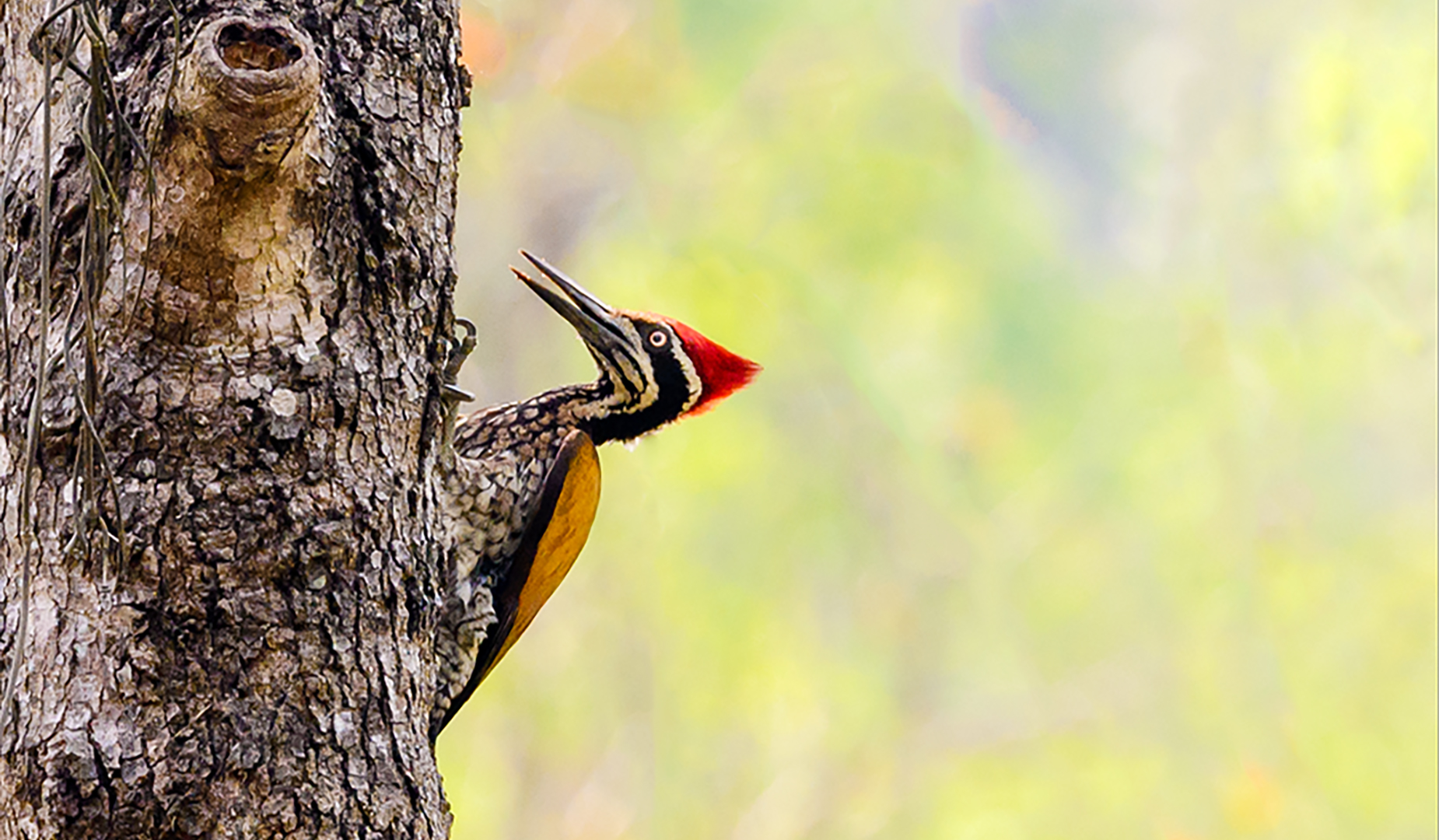 Greater Flameback Woodpecker
