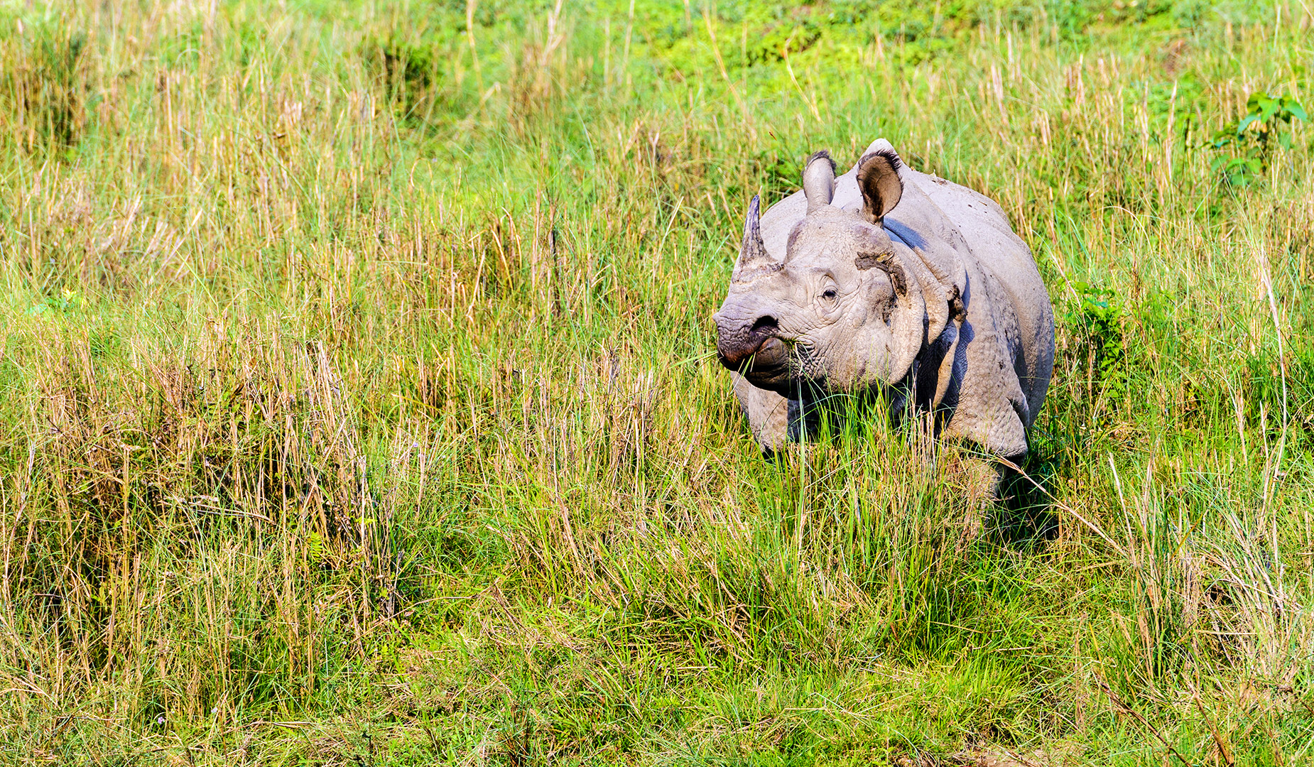 The greater one-horned rhinoceros